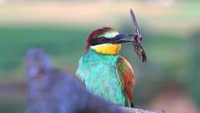 El pájaro salvaje exótico sostiene una mariposa grande en un pico metrajes