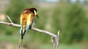 El pájaro salvaje hermoso limpia las plumas de la cámara lenta almacen de video