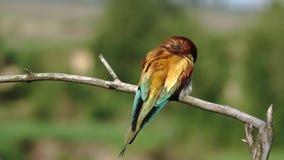 El pájaro salvaje hermoso limpia plumas en una mañana del verano almacen de video