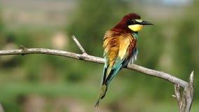 El pájaro salvaje hermoso limpia plumas por la mañana metrajes