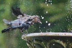 El pájaro toma un baño en una fuente de la ciudad Fotos de archivo libres de regalías