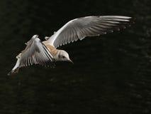 El pájaro vuela sobre el agua Fotografía de archivo libre de regalías