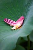 Pétalo de Lotus Imagen de archivo