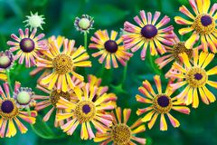 El pétalo hermoso del amarillo del rojo anaranjado florece en el jardín Campo de las flores de las margaritas del otoño Fondo sua fotos de archivo