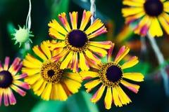 El pétalo hermoso del amarillo del rojo anaranjado florece en el jardín Campo de las flores de las margaritas del otoño Fondo sua fotografía de archivo libre de regalías