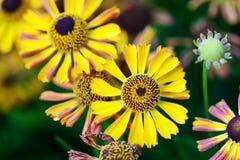 El pétalo hermoso del amarillo del rojo anaranjado florece en el jardín Campo de las flores de las margaritas del otoño Fondo sua fotos de archivo libres de regalías