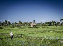 El paddie del arroz coloca la opinión del paisaje en Bali del sur Indonesia foto de archivo libre de regalías