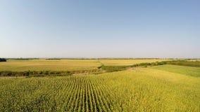 El paisaje aéreo del maíz cosecha lentamente la ascensión, vista delantera constante, Registrado en 4k almacen de metraje de vídeo