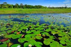 El paisaje africano, lirio de agua con verde se va en la superficie con el cielo azul, delta de Okavango, Moremi, Botswana del ag fotografía de archivo libre de regalías
