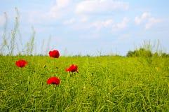 El paisaje asombroso del campo de la amapola de la primavera contra el cielo y la luz coloridos se nubla Cuatro amapolas en el ca Imagen de archivo libre de regalías
