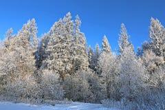 El paisaje de árboles nevados es spruce y abedul Fotografía de archivo libre de regalías