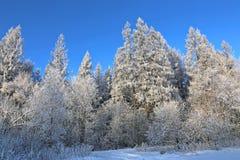El paisaje de árboles nevados es spruce y abedul Fotografía de archivo
