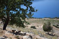 El paisaje de gran escénico con las cabras se coloca en la sombra Imagen de archivo