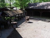 El paisaje de la familia de siete bisontes europeos salvajes se coloca en la tierra arenosa en recinto en la ciudad de Pszczyna,  foto de archivo libre de regalías