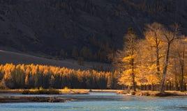 El paisaje de la montaña del otoño con los árboles iluminados por el sol y un azul frío rive imagen de archivo libre de regalías