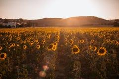 El paisaje de una puesta del sol de la belleza sobre los girasoles coloca imagen de archivo