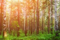 El paisaje del bosque con los abedules y los abetos se encendió por la luz brillante de la puesta del sol Fotos de archivo libres de regalías