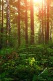 El paisaje del bosque con los helechos y los árboles bajo puesta del sol caliente se encienden Foto de archivo
