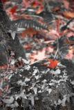 El paisaje del bosque de la caída en color selectivo rojo con el roble de la hiedra y del arce hojea Foto de archivo libre de regalías