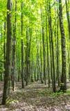 El paisaje del bosque en un día de verano soleado de la primavera con los árboles y el verde de abedul vivos de la hierba se va e foto de archivo libre de regalías