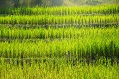 El paisaje del feld del arroz Imágenes de archivo libres de regalías