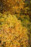 El paisaje del otoño, árboles de arce del roble de los abedules fue pintado en otoño Imágenes de archivo libres de regalías