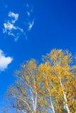El paisaje del otoño del abedul blanco Fotografía de archivo libre de regalías