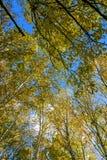 El paisaje del otoño del abedul blanco Imagenes de archivo