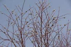 El paisaje/el gatito de la primavera ramifica con los brotes mullidos contra el cielo azul/ Fotografía de archivo