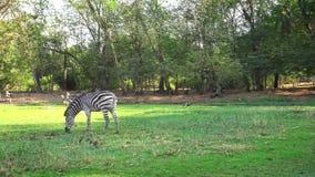 el paisaje hermoso 4K de una cebra come la hierba verde en un safari del viaje almacen de metraje de vídeo