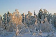 El paisaje nevado del bosque del invierno, iluminado por puesta del sol irradia Foto de archivo