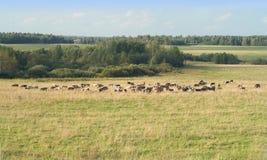 El paisaje rural del verano con las vacas pasta en grasslan Imagen de archivo libre de regalías