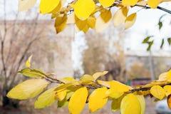 El paisaje urbano borroso en marco del abedul amarillo del otoño ramifica Imagenes de archivo