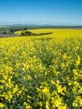 El paisaje Western Cape del verano en Suráfrica con Canola amarillo coloca imagenes de archivo
