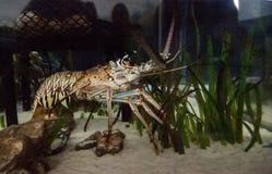 El Palinuridae también llamado espinoso de la langosta de roca de la langosta forrajea imagen de archivo