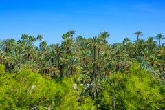EL Palmeral d'Elche Elx Alicante avec beaucoup de palmiers photographie stock libre de droits