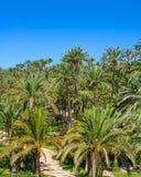 EL Palmeral d'Elche Elx Alicante avec beaucoup de palmiers images stock