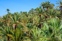 EL Palmeral d'Elche Elx Alicante avec beaucoup de palmiers images libres de droits