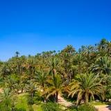 EL Palmeral d'Elche Elx Alicante avec beaucoup de palmiers image stock