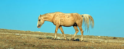 El Palomino coloreó el semental de la banda del caballo salvaje en la gama del caballo salvaje de la montaña de Pryor en Montana  Fotos de archivo libres de regalías