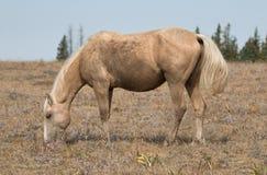 El Palomino sucio coloreó el semental de la banda del caballo salvaje en la gama del caballo salvaje de la montaña de Pryor en Mo Fotografía de archivo