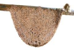 El panal grande, espeluznante, hecho de la sandía de la corteza siembra el palillo como Imágenes de archivo libres de regalías