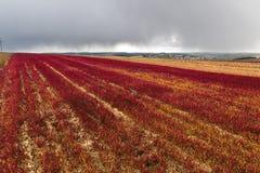 El panorama amplio de las plantas rojas del amaranto coloca en fondo del pueblo verde distante debajo del cielo azul marino tempe fotografía de archivo