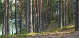 El panorama del bosque del pino cerca del lago, la trayectoria entra la distancia entre los troncos rectos Fotografía de archivo libre de regalías
