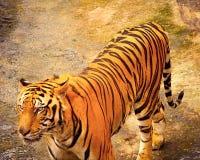El Panthera el Tigris el Tigris del tigre de Bengala Fotografía de archivo