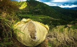 El paquete de arroz recién cosechado, envuelto y alista para ir Imágenes de archivo libres de regalías