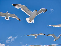El paquete de gaviotas hermosas vuela en el cielo Foto de archivo
