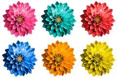 El paquete de la dalia surrealista coloreada florece macro aislada Imagenes de archivo