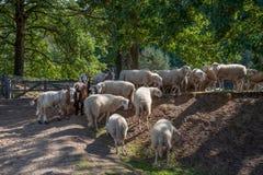 El paquete de ovejas cierra junto ser ventaja de un sheepherder imagen de archivo