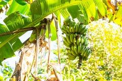 El paquete verde del plátano Imágenes de archivo libres de regalías